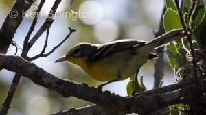 Adelaide`s Warbler (Dendroica adelaidae) (1)