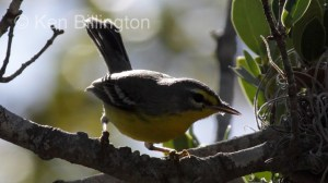 Adelaide`s Warbler (Dendroica adelaidae) (2)