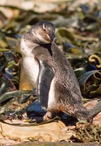 African Penguin juv. on kelp algae (EN)