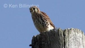 American Kestrel (Falco sparverius) (2)