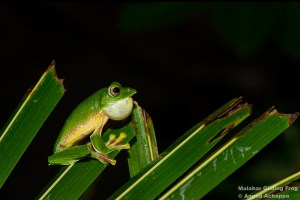Malabar Gliding Frog Calling