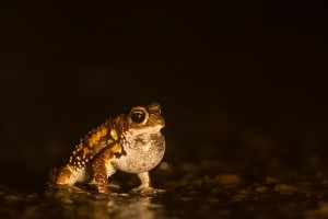 Amboli Toad  -  Xanthophryne Tigerina