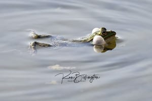 Blowing Bubbles - Frog