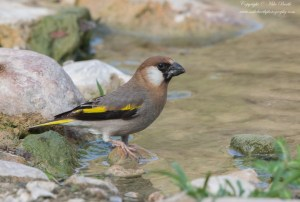 Arabian Golden-winged Grosbeak