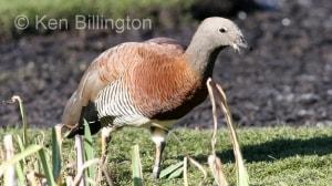 Ashy-headed Goose (Chloephaga poliocephala) (1).jpg