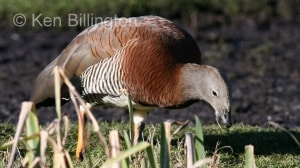 Ashy-headed Goose (Chloephaga poliocephala) (2).jpg