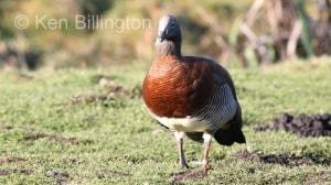Ashy-headed Goose (Chloephaga poliocephala) (3).jpg