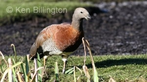 Ashy-headed Goose (Chloephaga poliocephala) (4).jpg