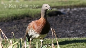 Ashy-headed Goose (Chloephaga poliocephala) (5).jpg