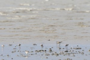 Asian Dowitcher (juvenile) with Great Knot (Calidris tenuirostris)