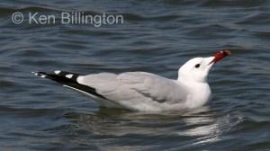 Audouin's Gull Larus audouinii