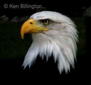 Bald Eagle (Haliaeetus leucocephalus) (2)