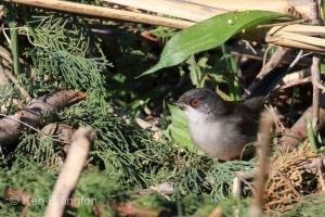 Balearic warbler (Sylvia balearica) (03)