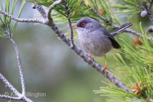 Balearic warbler (Sylvia balearica) (02)