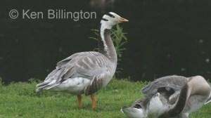 Bar-Headed Goose (Anser indicus) (2).jpg