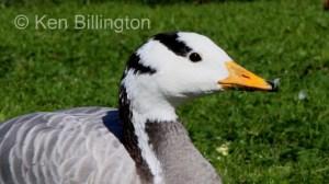 Bar-Headed Goose (Anser indicus) (4).JPG