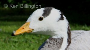 Bar-Headed Goose (Anser indicus) (5).JPG