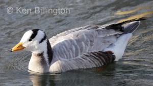 Bar-Headed Goose (Anser indicus) (6).jpg