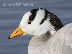 Bar-headed Goose Anser indicus