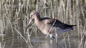 Bar-tailed Godwit (Limosa lapponica) (1)