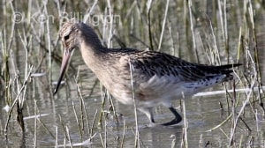 Bar-tailed Godwit (Limosa lapponica) (10)
