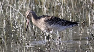 Bar-tailed Godwit (Limosa lapponica) (11)