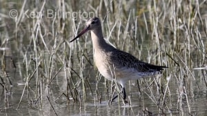 Bar-tailed Godwit (Limosa lapponica) (2)