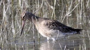 Bar-tailed Godwit (Limosa lapponica) (8)