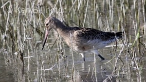 Bar-tailed Godwit (Limosa lapponica) (9)
