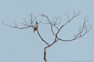 Bare-throated Bellbird Procnias nudicollis