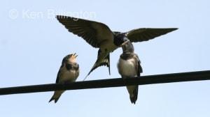 Barn Swallow (Hirundo rustica) (10)