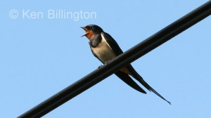 Barn Swallow (Hirundo rustica) (11)