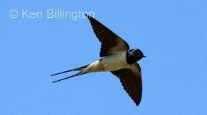 Barn Swallow (Hirundo rustica) (13)