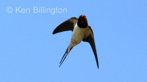 Barn Swallow (Hirundo rustica) (16)