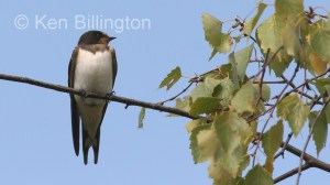 Barn Swallow (Hirundo rustica) (2)