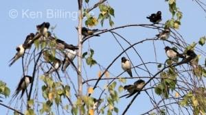 Barn Swallow (Hirundo rustica) (3)