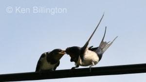 Barn Swallow (Hirundo rustica) (7)