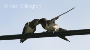 Barn Swallow (Hirundo rustica) (8)