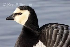 Barnacle Goose (Branta leucopsis) (4).jpg