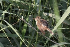 Basra Reed Warbler after bathing