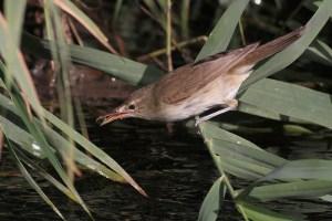 Adult Basra Reed Warbler