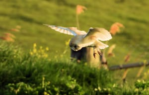Evening Hunting Barn Owl