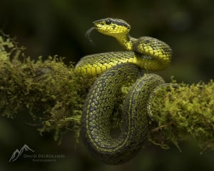 Black-speckled Palm-pitviper