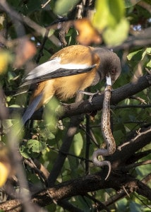 Rufous Treepie with Snake