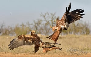 Marsh Harrier Vs Red Kite