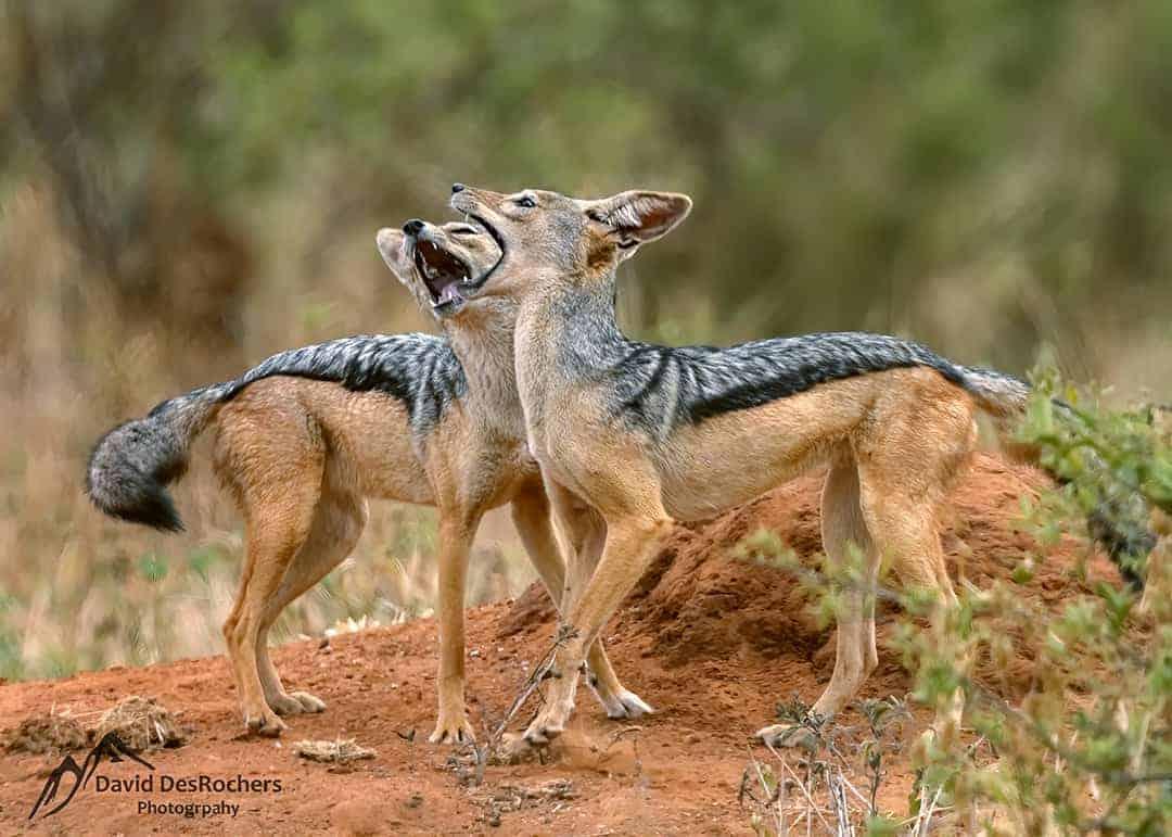 Black-backed Jackals (Canis Mesomelas)