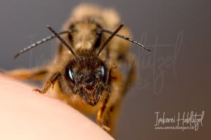 Gehoernte Mauerbiene