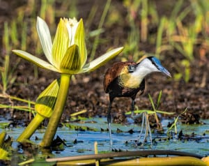 Afican Jacuna with a Lily