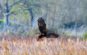 Marsh Harrier Returns to the Nest