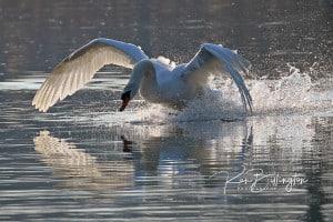 Making a Splash - Mute Swan